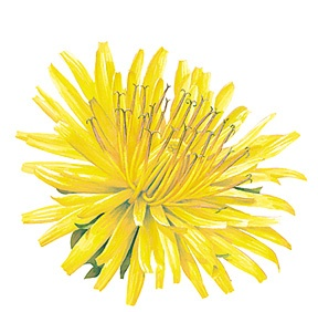 Wildcrafted Dandelion Oil
